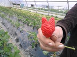 fraise-deguisee.jpg
